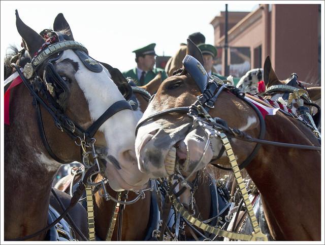 Veterans Parade 13 (Horse Laugh)
