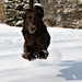 Jumping through the snow 1/12/c by Flat Coat Whimsy