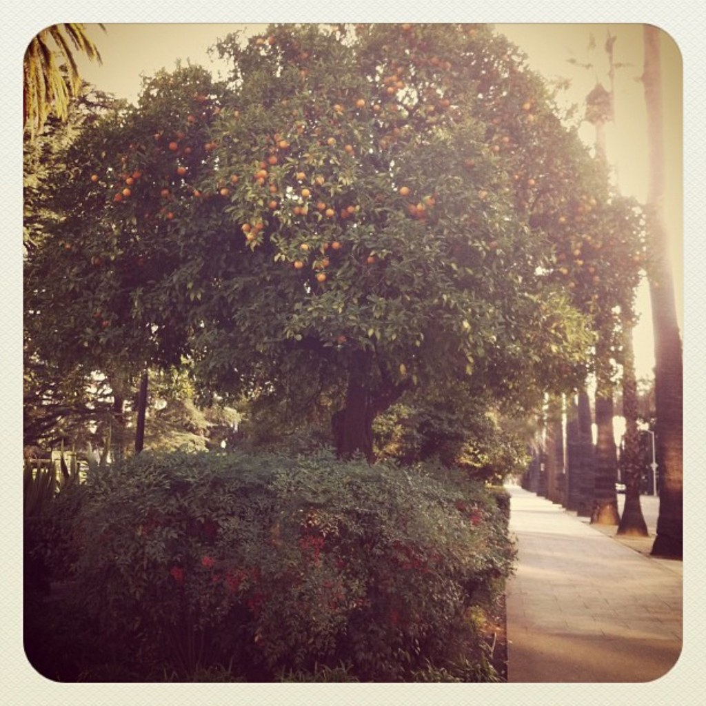 Capitol orange trees, Sacramento