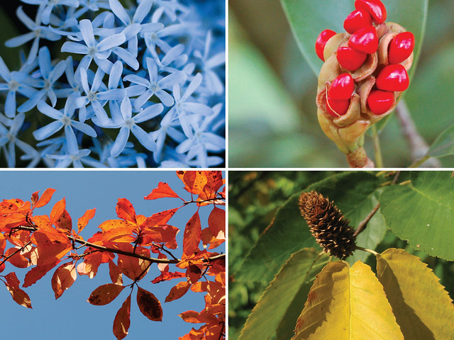 Plants featured in BBG's new Visitor Center landscape include (clockwise from top right) blue star (Amsonia tabernaemontana 'Blue Ice'), sweet bay (Magnolia virginiana), sweet birch (Betula lenta), and black gum (Nyssa sylvatica).