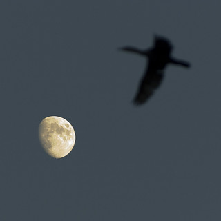 Bird under the Moon