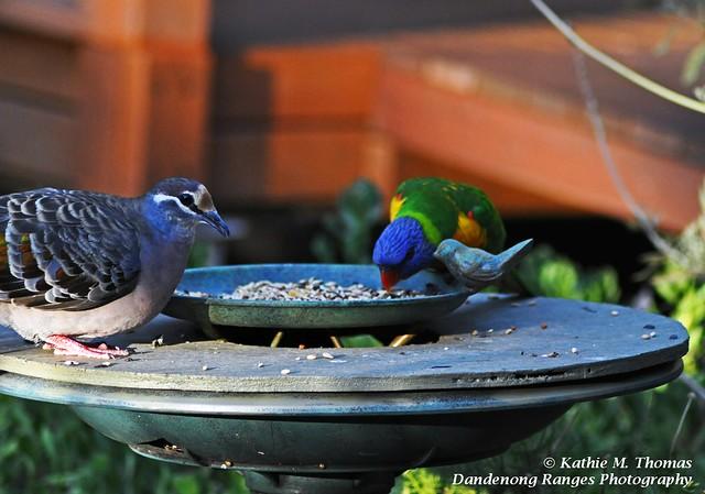 Common Bronzewing and Rainbow Lorikeet