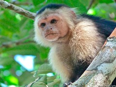 tufted capuchin(0.0), squirrel monkey(0.0), langur(0.0), macaque(0.0), animal(1.0), monkey(1.0), white-fronted capuchin(1.0), mammal(1.0), capuchin monkey(1.0), fauna(1.0), white-headed capuchin(1.0), old world monkey(1.0), new world monkey(1.0), wildlife(1.0),