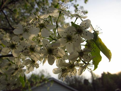 Bradford Pear Tree Blossoms #2