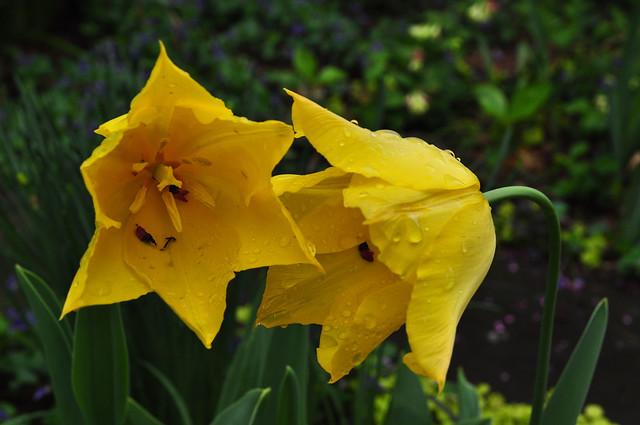 Tulipa (1)