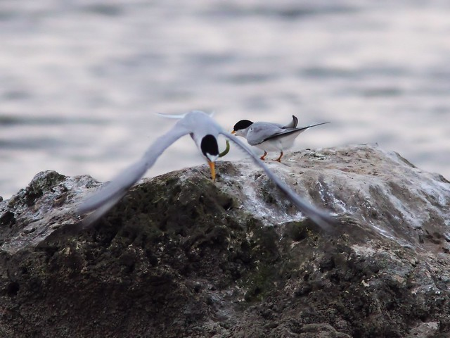 Least Tern feeding sequence 05-20140416