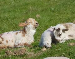 Basking ... #lambs