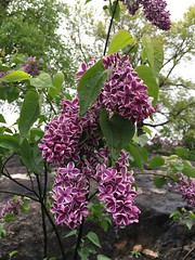 Syringa vulgaris 'Sensation', New York Botanical Garden