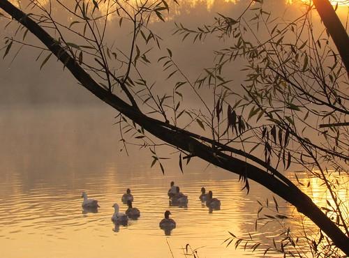 morning mist water pool fog sunrise gold licht nevel ganzen explore gliding gooses ochtend ramsel vijver zonsopgang ight fotodominic