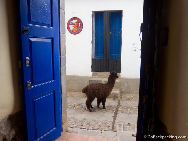An alpaca wandering freely around Cusco