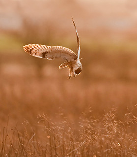 In For The Kill!  (Short Eared Owl)