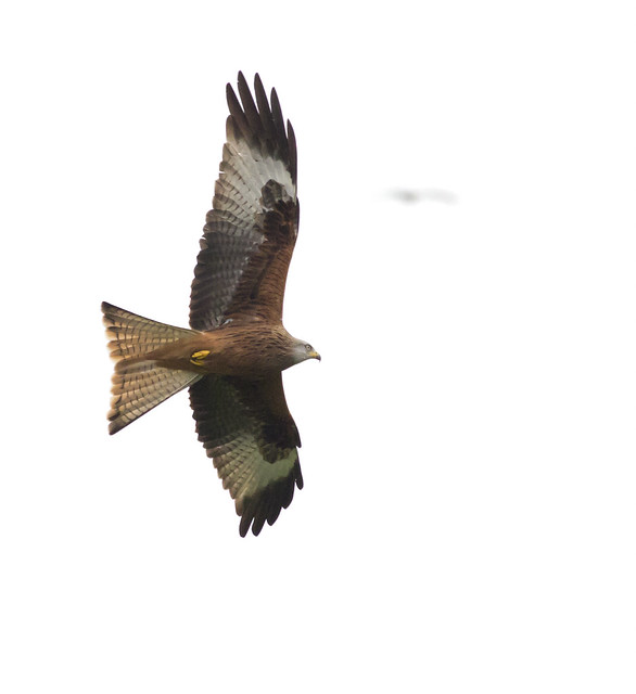Red kite  ISO 6400_
