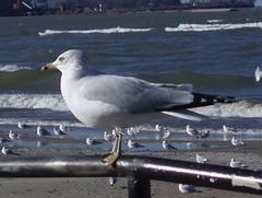 Ring-billed Gull, Dunkirk Harbor, NY
