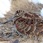 Snipe and woodcock