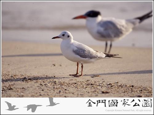 紅嘴鷗-02.jpg