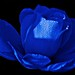 "una rosa blu..... by "" paolo ammannati """