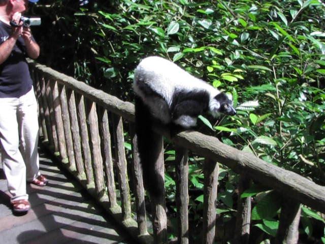 MOVIE: lemur walking around