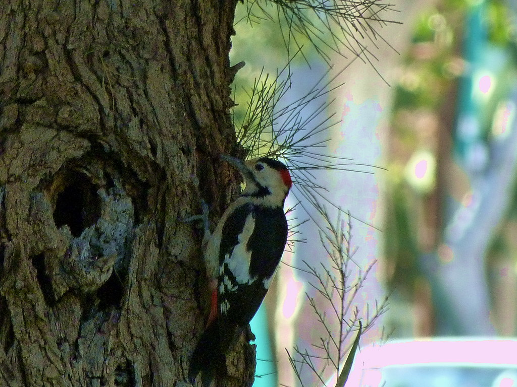 15-11-2011-syrian-woodpecker