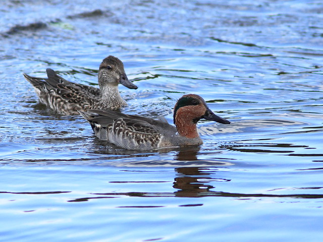 Green-winged Teal 20111204