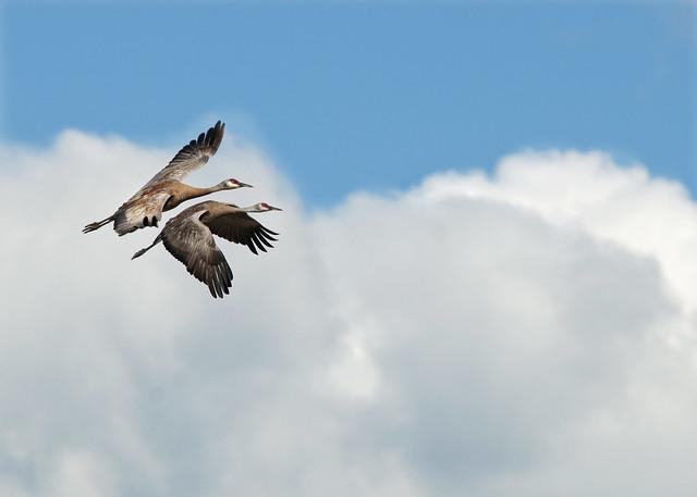 Grullas canadienses (Grus canadensis) volando sobre el Parque nacional y reserva Denali. Alaska.