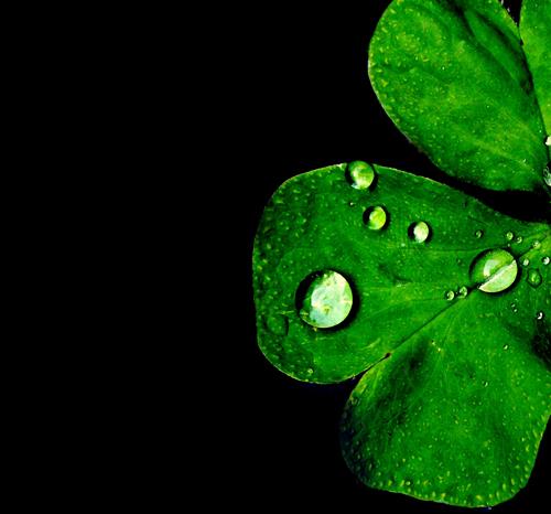 Gotas de agua sobre un trébol de tres hojas. Contraste de verde y negro