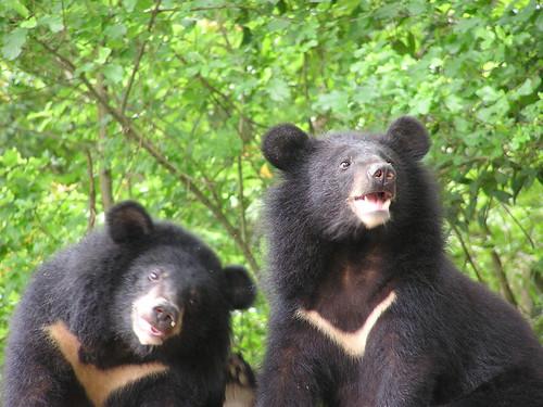 登山觀光客、山林開發建設等人類擾動,不斷干擾台灣黑熊的棲地安寧;圖片提供:黃美秀