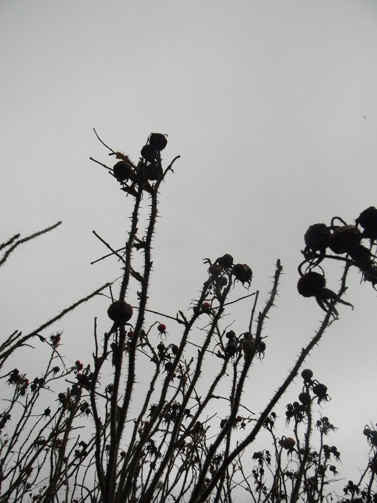 Burnet rose silhouettes Borough Green to Sevenoaks