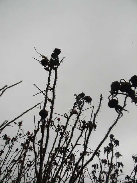 Burnet rose silhouettes