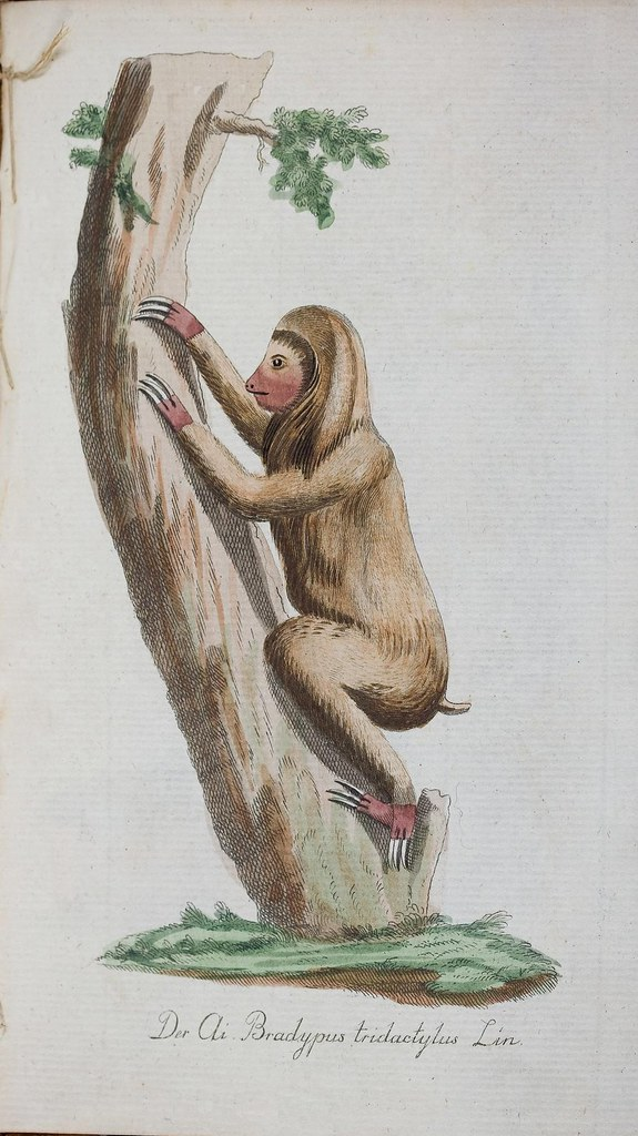 late 18th c. mammal sketch (sloth)