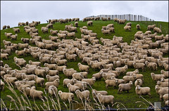 Lots of sheep along the Napier-Taihape Road