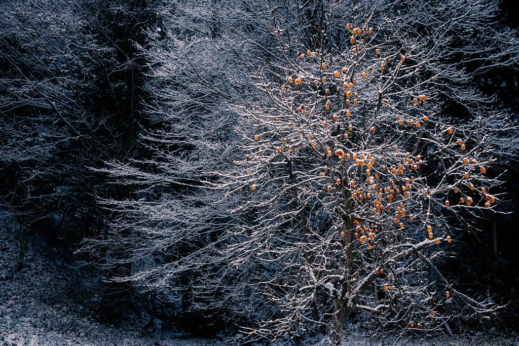 Persimmon in winter *