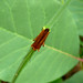 Small photo of Oedemeridae. Oedemera podagrariae