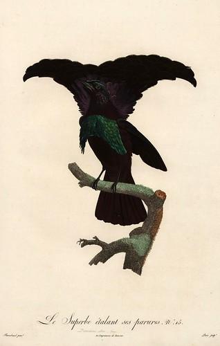 007-El soberbio en danza-Histoire naturelle des Oiseaux de paradis et des Rolliers.. 1806-François Levaillant