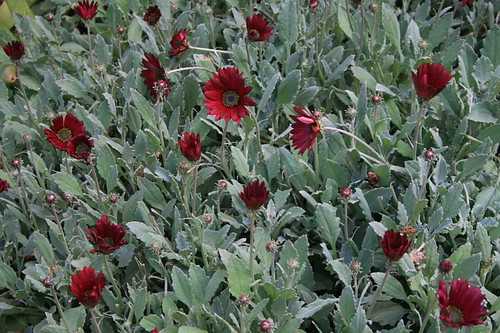 Arctotis 'Burgundy' in bloom