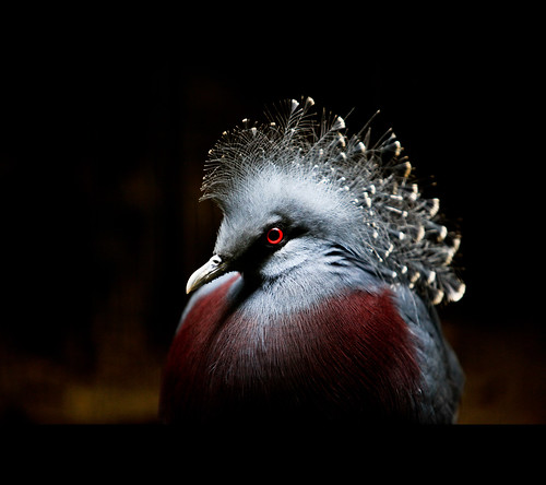 [bird] Victoria Crowned Pigeon (維多利亞冠鴿)