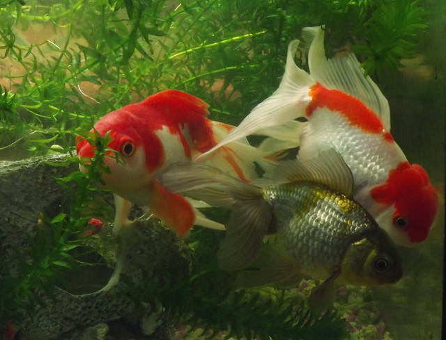 Fancy goldfish group flickr photo sharing for The fancy fish