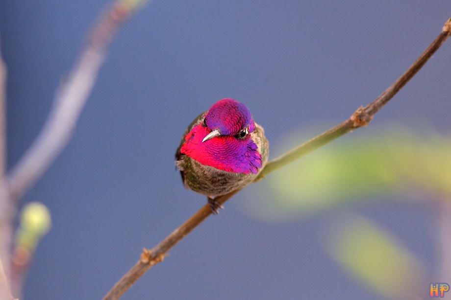 Anna's Hummingbird 122811-2