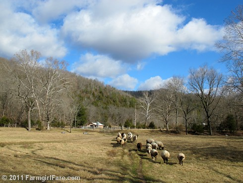 Pregnant ewes heading out to graze on a beautiful winter day - FarmgirlFare.com