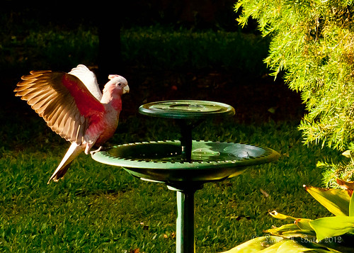 Galah Drops in for a Drink