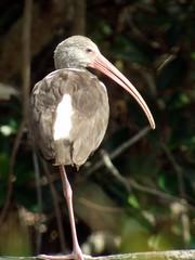 White Ibis, Loxahatchee, FL