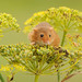 Harvest mouse [Explored] by amylewis.lincs