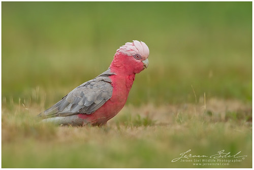 Galah by www.jeroenstel.com