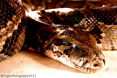 eastern diamondback rattlesnake(0.0), hognose snake(0.0), animal(1.0), serpent(1.0), snake(1.0), boa constrictor(1.0), reptile(1.0), close-up(1.0), scaled reptile(1.0),