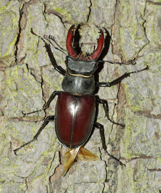 stag beetle male wing out on tree 2