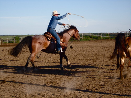cowboy roping cattle