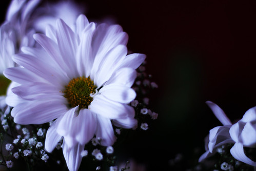 Winter Daisy