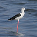 black winged stilt Salinas del Janubio