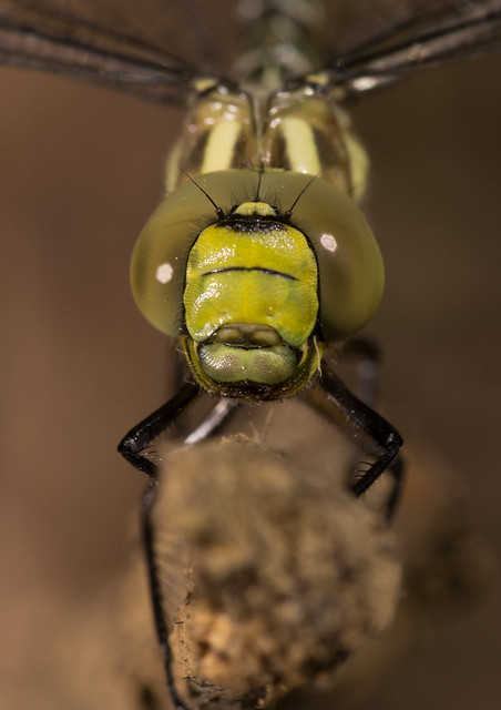 Southern hawker close up 11