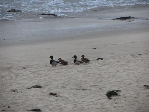 duck romance