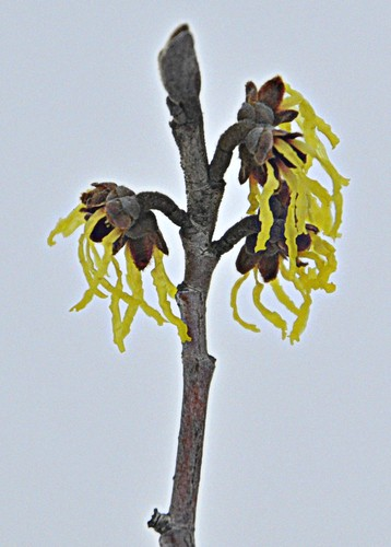 01-21-12 Witch Hazel by roswellsgirl
